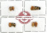 Scientific lot no. 207A Chrysomelidae (Cryptocephalini) (12 pcs)