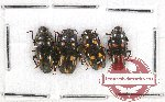 Scientific lot no. 53 Erotylidae (4 pcs)
