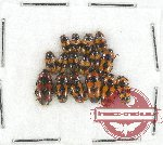 Scientific lot no. 49 Erotylidae (16 pcs)