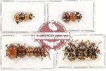 Scientific lot no. 208A Chrysomelidae (15 pcs)