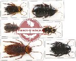 Scientific lot no. 22 Blattodea (6 pcs A, A-)
