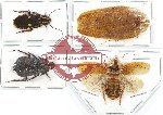 Scientific lot no. 31 Blattodea (4 pcs A, A2)