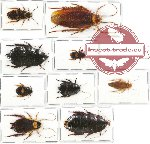 Scientific lot no. 24 Blattodea (9 pcs A, A-)