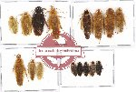 Scientific lot no. 26 Blattodea (16 pcs A, A-, A2)