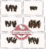 Scientific lot no. 113 Staphylinidae (29 pcs)