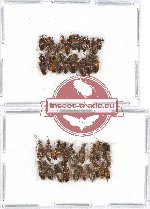 Scientific lot no. 111 Staphylinidae (39 pcs)
