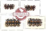 Scientific lot no. 77 Erotylidae (16 pcs - 8 pcs A2)