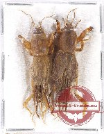 Scientific lot no. 26 Orthoptera (2 pcs)