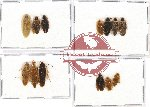 Scientific lot no. 27 Blattodea (13 pcs A, A-, A2)