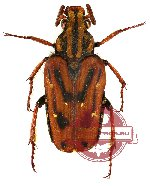 Euselates (s.str.) stricticollis