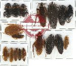 Scientific lot no. 18 Blattodea (18 pcs)