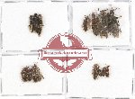 Scientific lot no. 110 Staphylinidae (15 pcs)