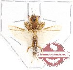 Scientific lot no. 25 Orthoptera (1 pc)