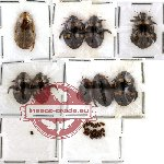 Dytiscidae Scientific lot no. 1 (31 pcs)