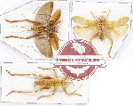 Scientific lot no. 27 Orthoptera (3 pcs A2)