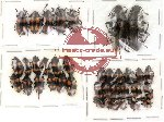 Scientific lot no. 3 Erotylidae (36 pcs)