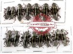 Scientific lot no. 5 Erotylidae (15 pcs)