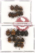 Scientific lot no. 20 Valginae (21 pcs)