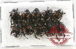 Scientific lot no. 190 Rutelinae (10 pcs A2)