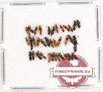 Scientific lot no. 119 Staphylinidae (36 pcs)