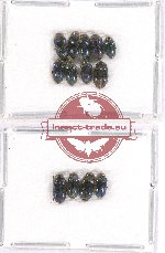 Elmidae sc. lot no. 17 (13 pcs)