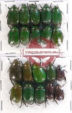 Scientific lot no. 191 Rutelinae (20 pcs)