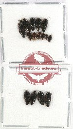 Scientific lot no. 120 Staphylinidae (15 pcs)