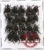 Scientific lot no. 189 Rutelinae (20 pcs)