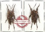 Scientific lot no. 30 Orthoptera (2 pcs)