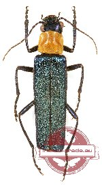 Cantharidae sp. 14