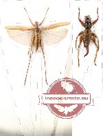Scientific lot no. 28 Orthoptera (2 pcs A-/A2)