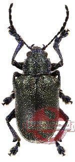 Chrysomelidae sp. 26