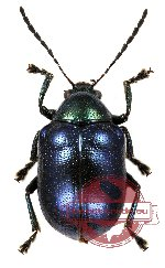 Chrysomelidae sp. 28 (3 pcs)