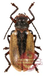 Chrysomelidae sp. 30