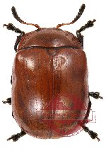 Chrysomelidae sp. 32