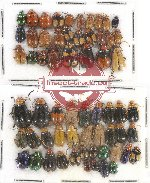 Scientific lot no. 284 Chrysomelidae (62 pcs)