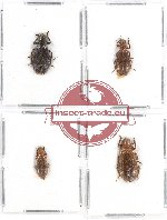 Scientific lot no. 84 Cleridae (4 pcs - 1 pc A2)
