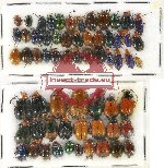 Scientific lot no. 282 Chrysomelidae (63 pcs)