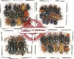 Scientific lot no. 258 Chrysomelidae (43 pcs)