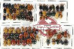 Scientific lot no. 260 Chrysomelidae (79 pcs)