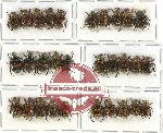 Scientific lot no. 209 Rutelinae (30 pcs)