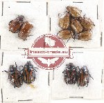 Scientific lot no. 199 Rutelinae (12 pcs)