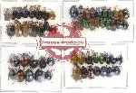 Scientific lot no. 12 Chrysomelidae (60 pcs)