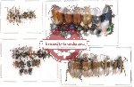 Scientific lot no. 13 Chrysomelidae (37 pcs)