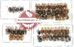 Scientific lot no. 32 Chrysomelidae (60 pcs)