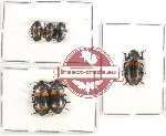 Scientific lot no. 107 Erotylidae (6 pcs A, A-, A2)