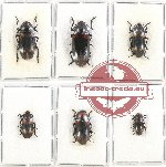 Scientific lot no. 103 Erotylidae 6 pcs (1 pc A2)