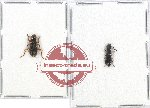 Scientific lot no. 96 Cleridae (2 pcs - 1 pc A2)