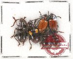 Scientific lot no. 301 Chrysomelidae (6 pcs)