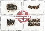 Scientific lot no. 117 Staphylinidae (36 pcs)